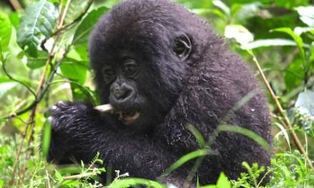 Observe mountain gorillas in Rwanda with Gondwana Ecotours