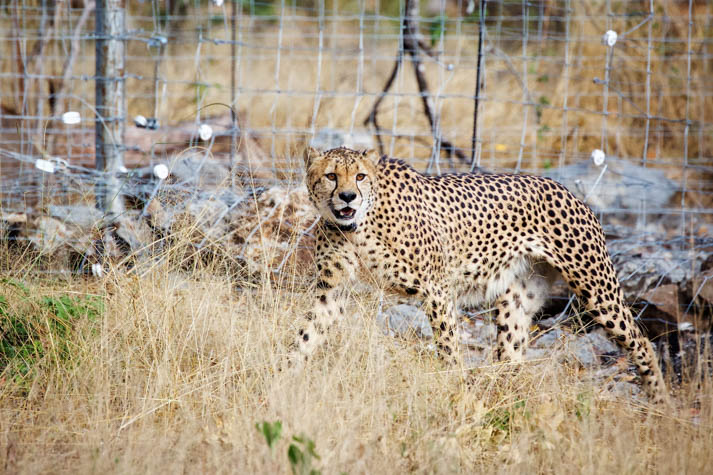 Cheetahs make a welcome return to Liwonde