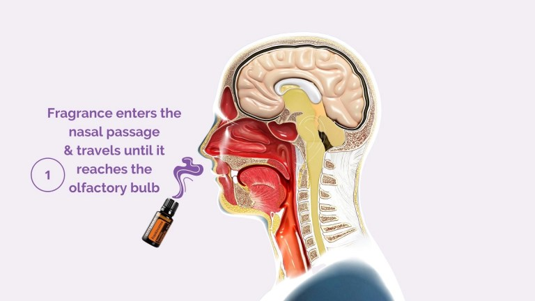 Scent Travels Through Your Olfactory System