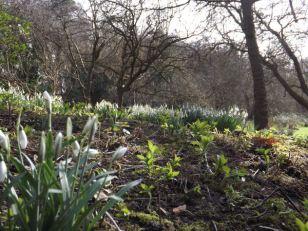 Hedingham Castle Snowdrops (14)