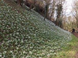 Hedingham Castle Snowdrops (18)
