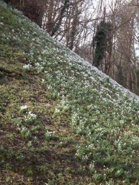 Hedingham Castle Snowdrops (5)