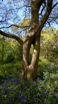 Bluebells at Hillhouse Wood West Bergholt (8)