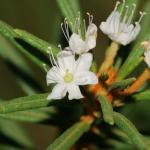 Ledum Esthers Homeopathy Clinic