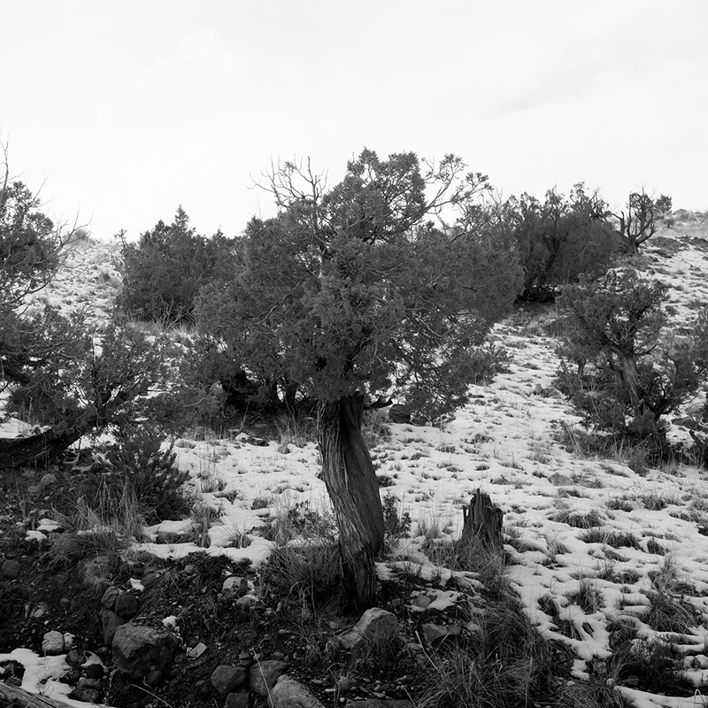 Ghost_Ranch_Tree