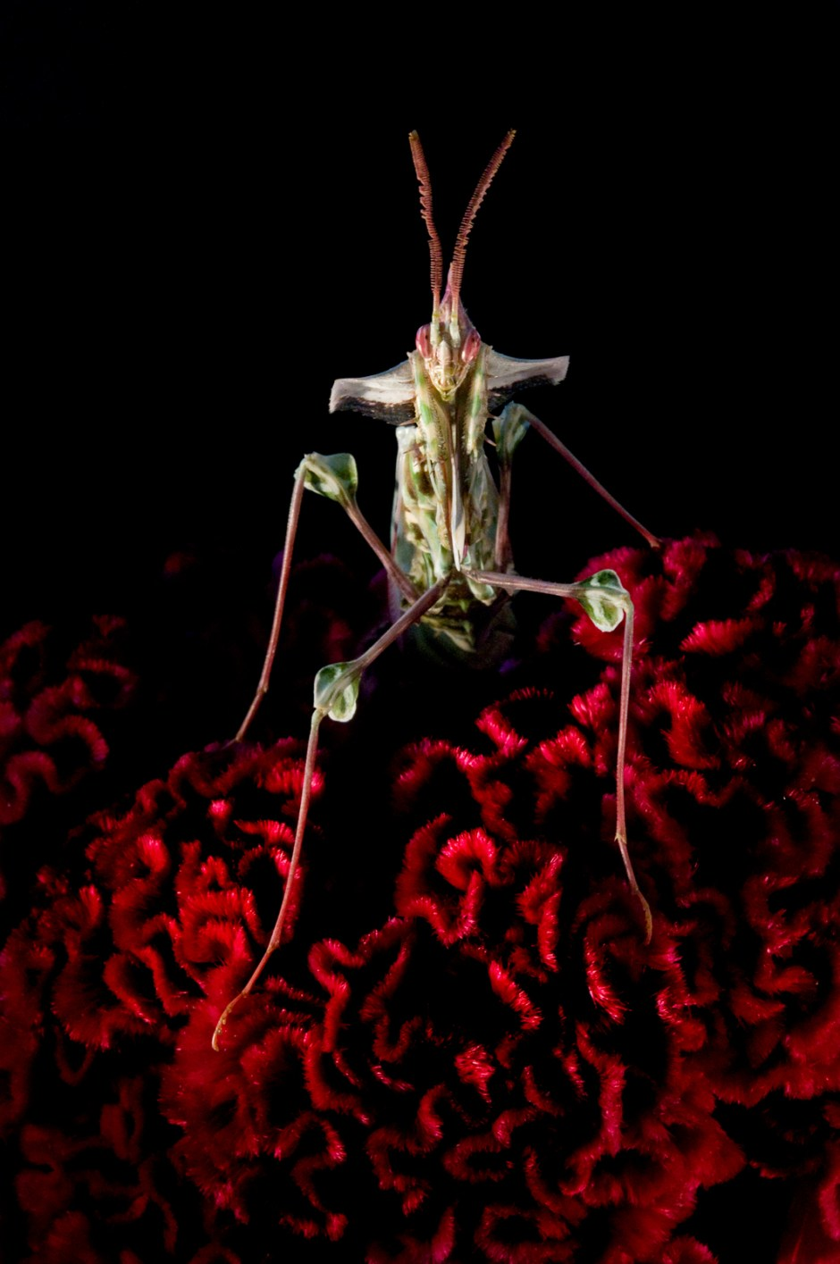 Devil's_Flower_Mantis_©_Kristin_Lingren