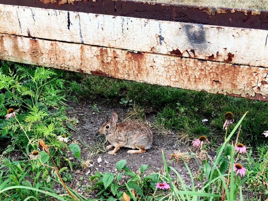 A_rabbit_under_the_Brown_Line_in_Ravenswood_August_6_2018_©_Robert_Loerzel