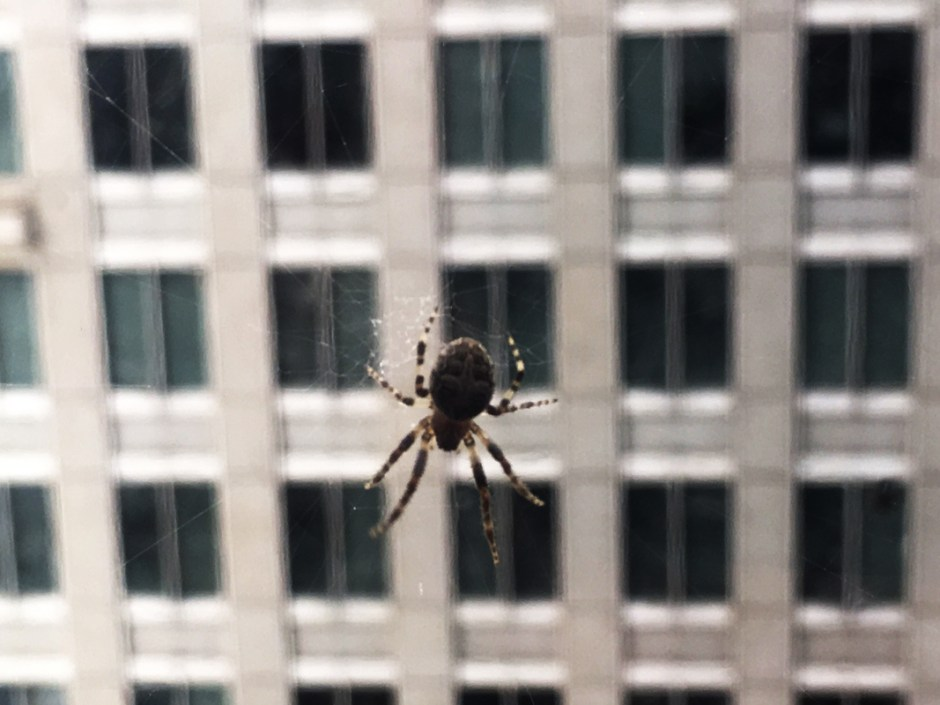 A_spider_outside_the_eleventh-floor_windows_of_the_Daley_Center_August_15_2018_©_Robert_Loerzel
