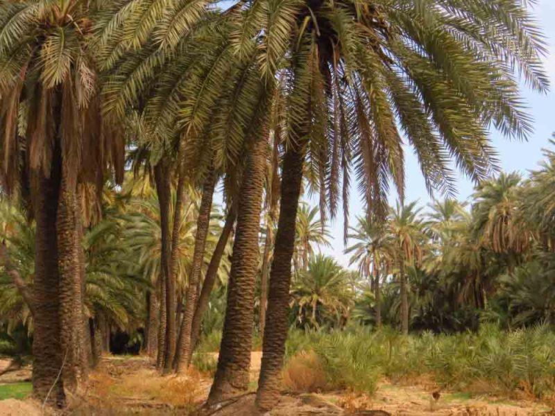 Huerto de palmeras en Elche (O. Aldeguer)