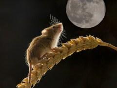 lua-conjunta-rato-lenormand