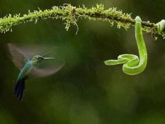 cobra-conjunção-pássaro-lenormand