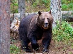 Criz-conjunta-urso-lenormand