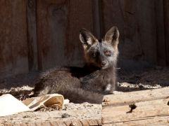 raposa-conjunta-caixão-lenormand