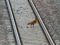 raposa-conjunção-caminho