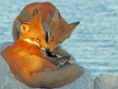 raposa-conjunção-coração-lenormand