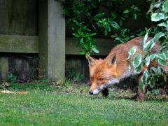 raposa-conjunção-cruz-lenormand
