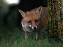 árvore-conjunção-raposa