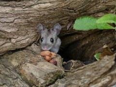 árvore-conjunção-rato-lenormand