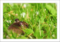rato-conjunção-jardim-lenormand