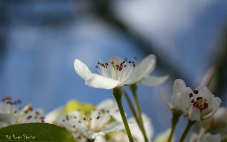 Fotografía de unas flores de manzano de color blanco sobre fondo azul y verde