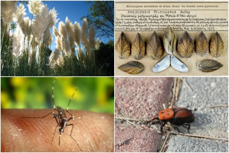 que son las especies exoticas invasoras hierba de la pampa mejillon cebra mosquito tigre picudo rojo
