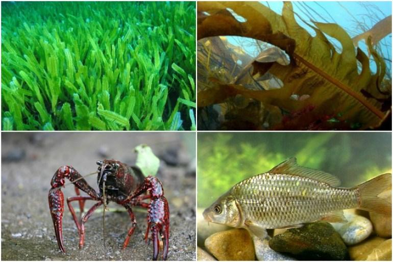 que son las especies exoticas invasoras caulerpa taxifolia wakame cangrejo americano carpa comun