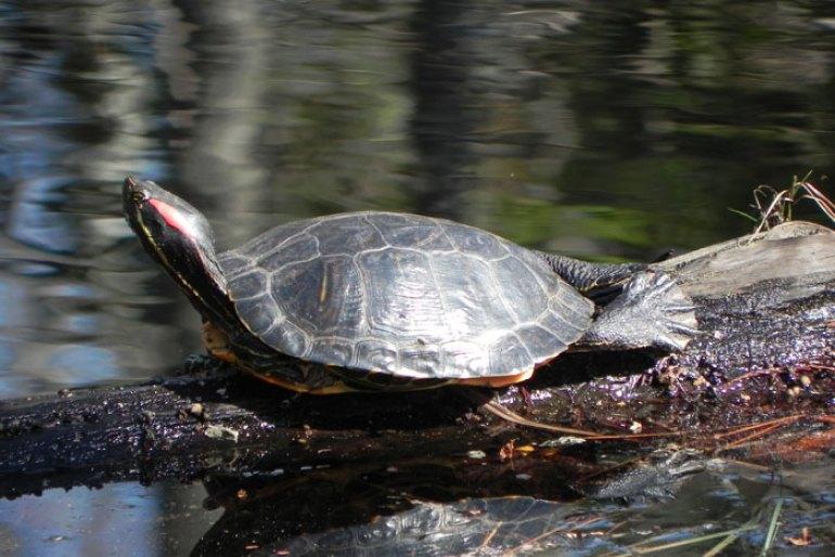 que son las especies exoticas invasoras tortuga de florida