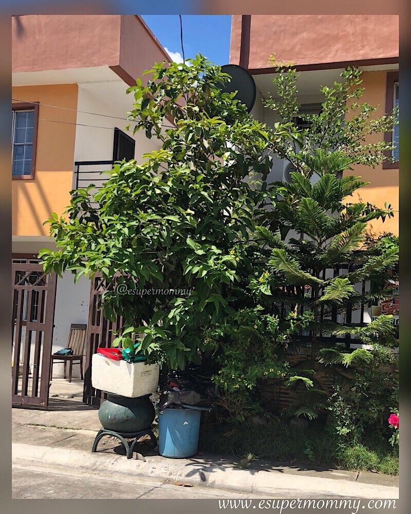 Marcotting a Makopa Tree