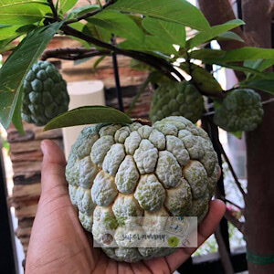 How to grow sugar apple from seeds?