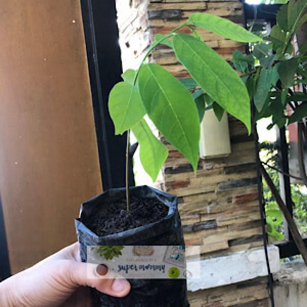 Atis Seedling