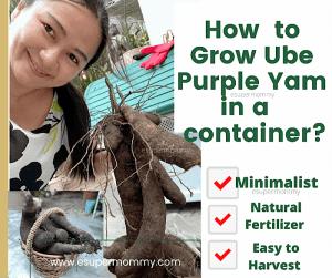 how to grow ube?
