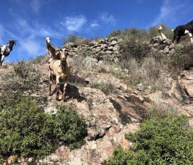 Ziegen auf dem Weg nach Juncalillo
