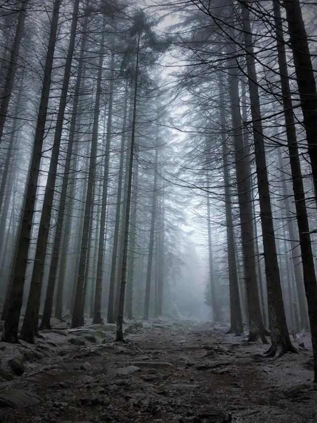 Nebelwald im Harz