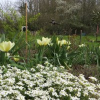 Tulipes, narcisses and co