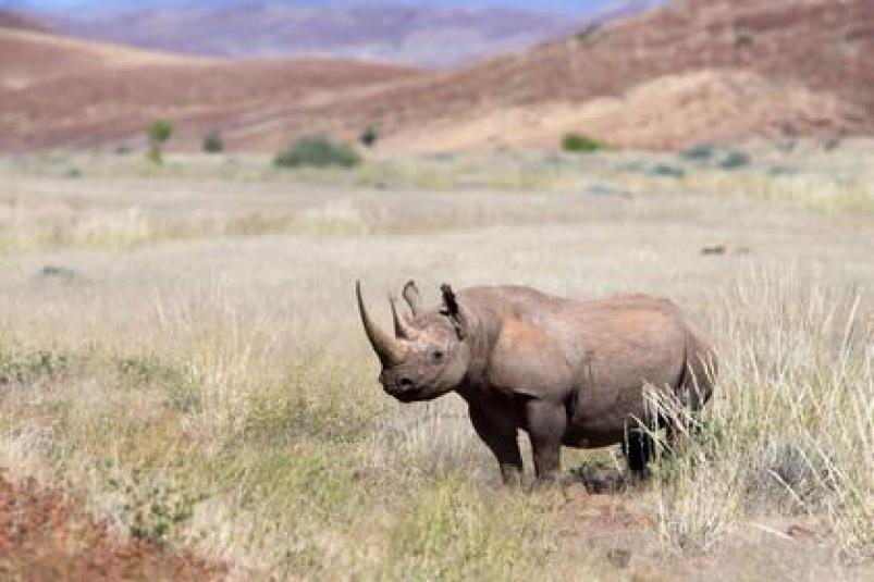 AMHRB31_D__Desert-adapted_black_rhino_bull_article_detail