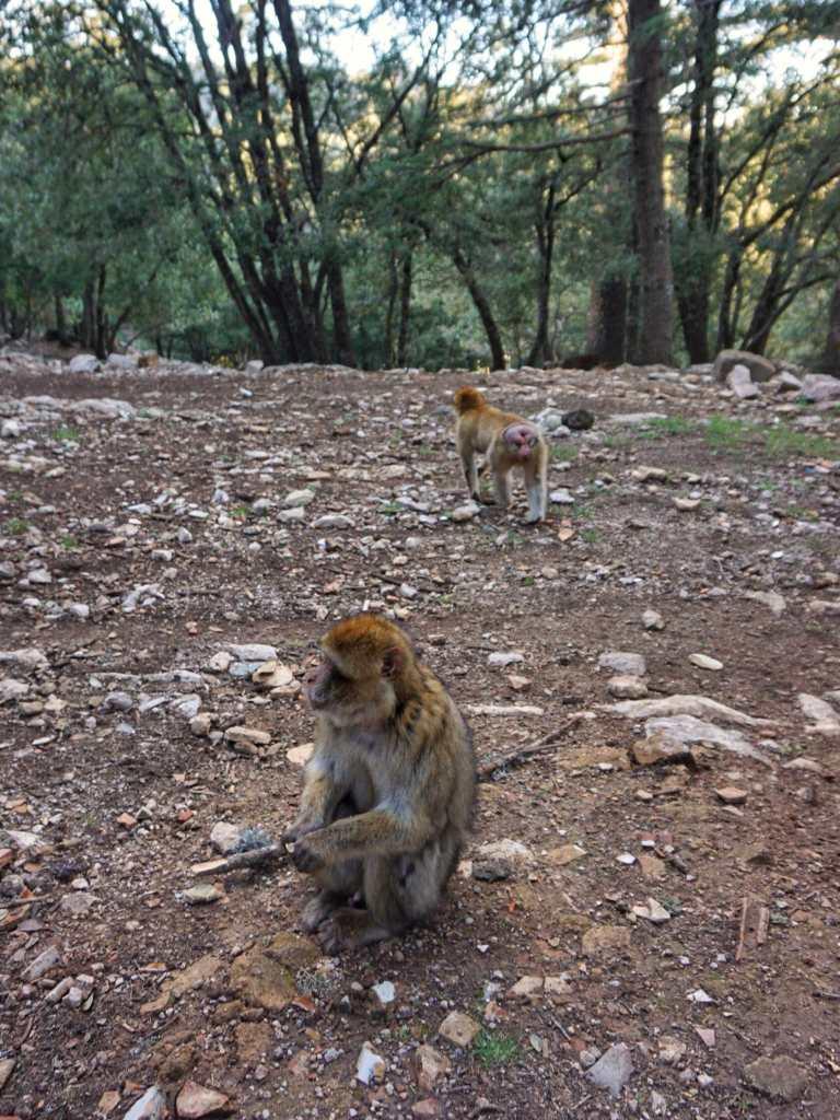 Monkeys of the Cedar Forest