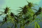 Horizons Marijuana ETF Main