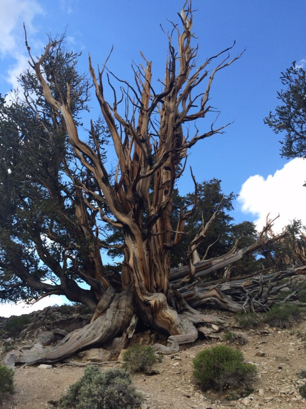 Bristlecone Pine Trees -- oldest living things on Earth