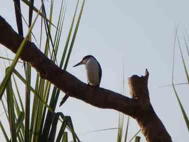 forest kingfisher fogg dam darwin day tours