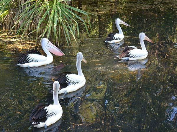 pelicans at territory widllife park