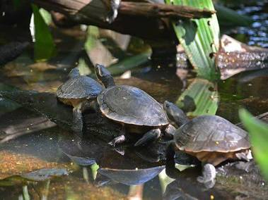 Yellow face turtles - Territory Wildlife Park - Darwin Day tours by ethical adventures