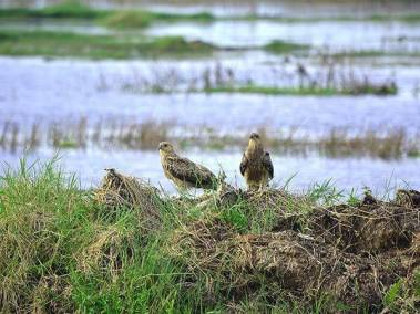 Whistling Kites on mound - Darwin day tours by ethical adventures