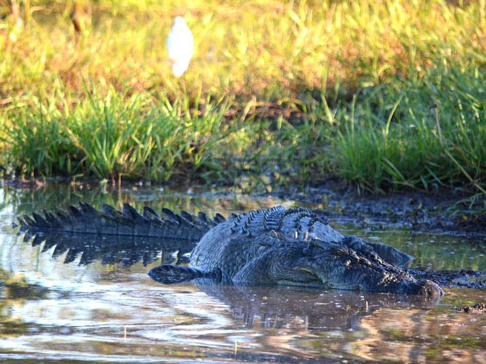Estuarine crocodile yellow waters kakadu national park