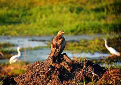 Top End Wildlife – Whistling kite