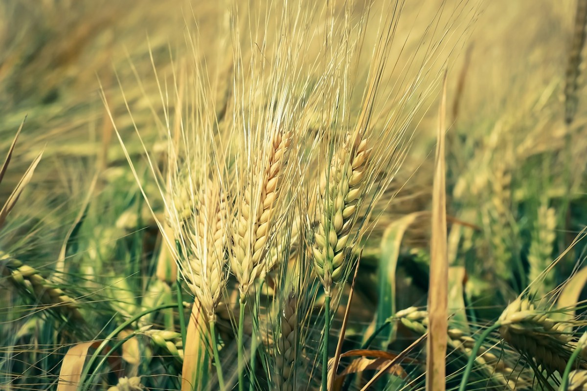 Ethiopia Wheat Exports