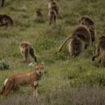 LUPO E BABBUINO IN ETIOPIA: QUASI AMICI