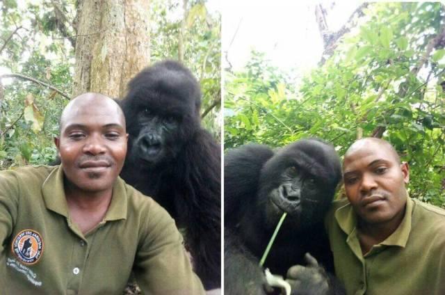 """Una spiegazione etologica al """"selfie"""" con i gorilla che ha fatto il giro del mondo."""