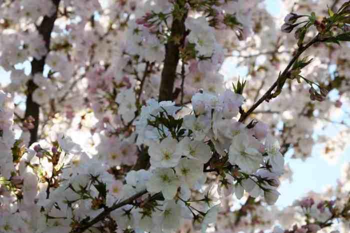Visite de Châteaugiron : cerisiers en fleurs -  ©Etpourtantelletourne.fr