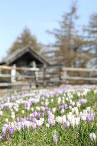 in primavera fioritura di crochi sull'alpe di meltina