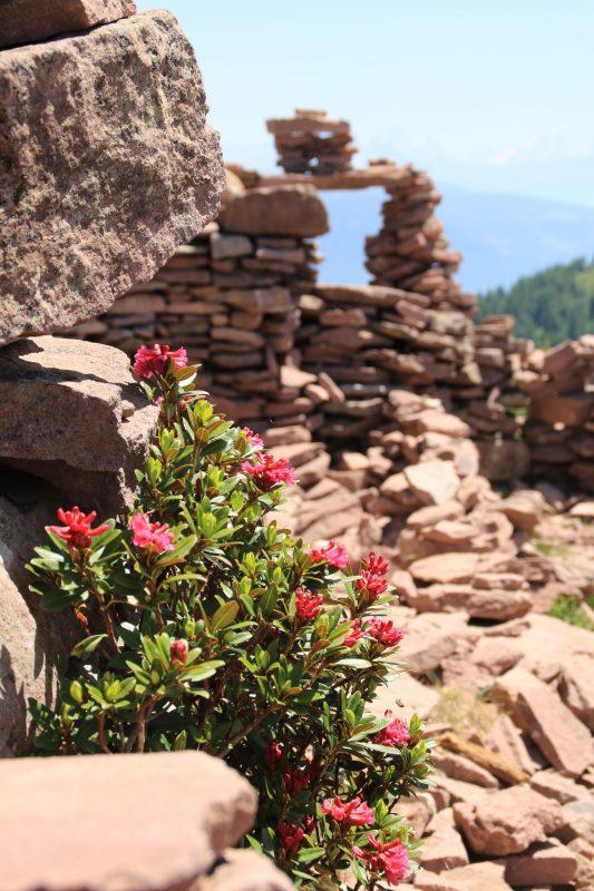 stoanerne mandln steinerne mandlen mit alpenrosen mölten sarntal